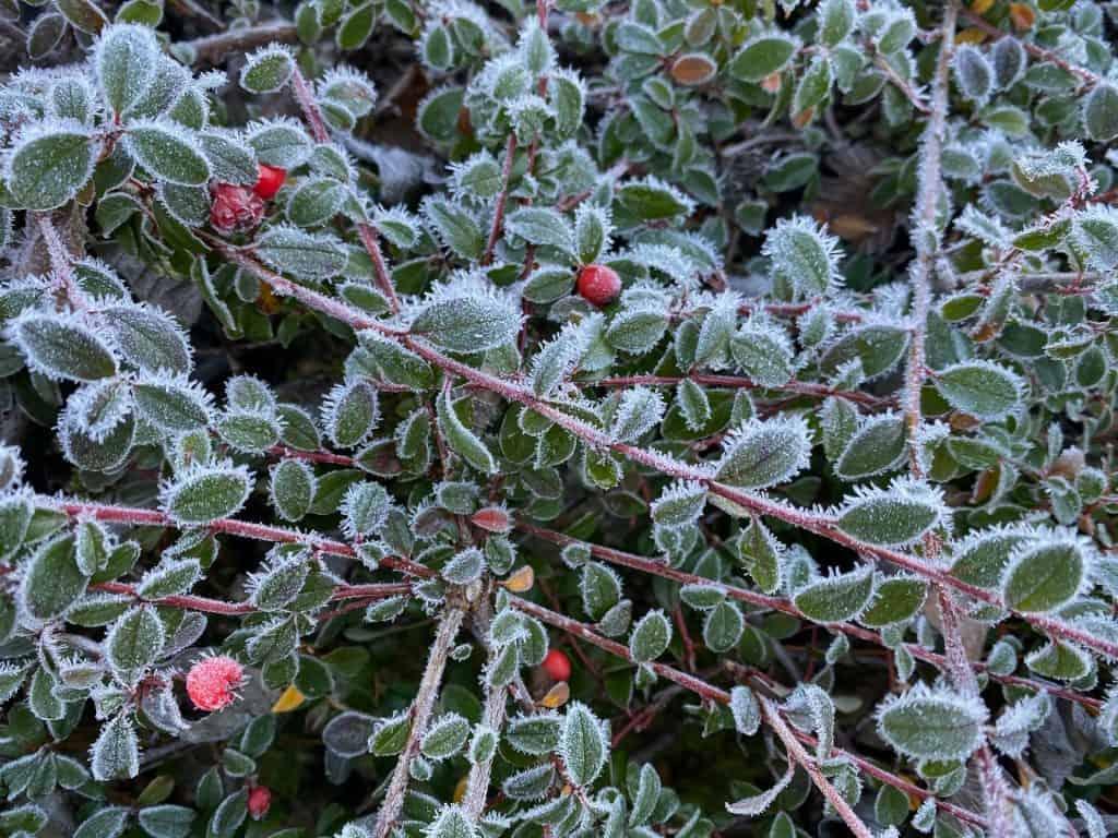 végétation gelée