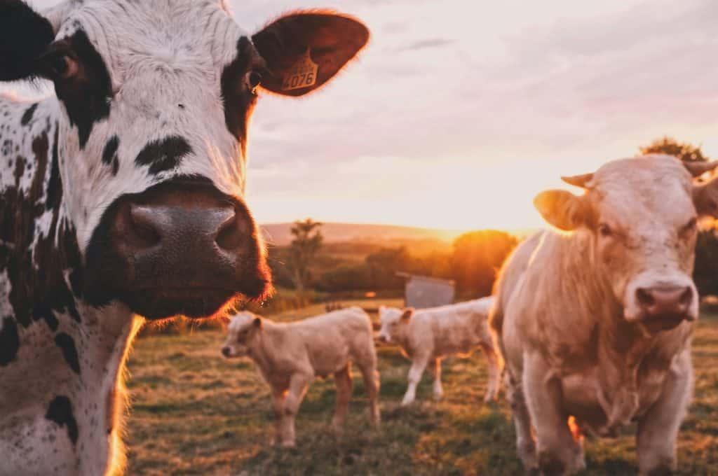 vaches françaises dans un champ